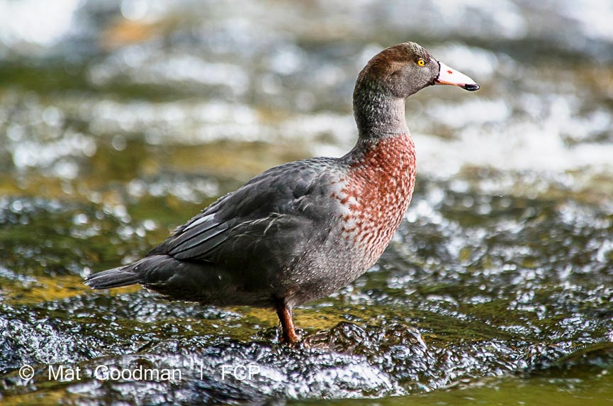 Blue duck, conservation in Fiordland