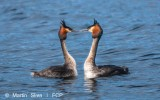 photography-lake-te-anau-crested-grebe